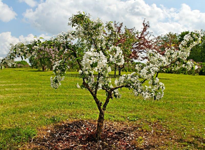 Download Белое цветение. стоковое изображение. изображение насчитывающей средства - 33739443