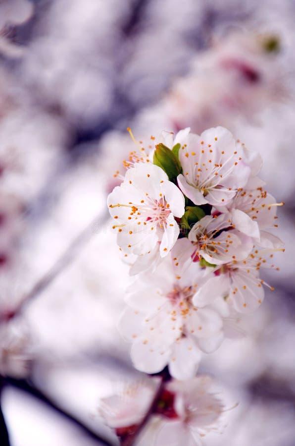 Белое цветорасположение яблока стоковое изображение rf
