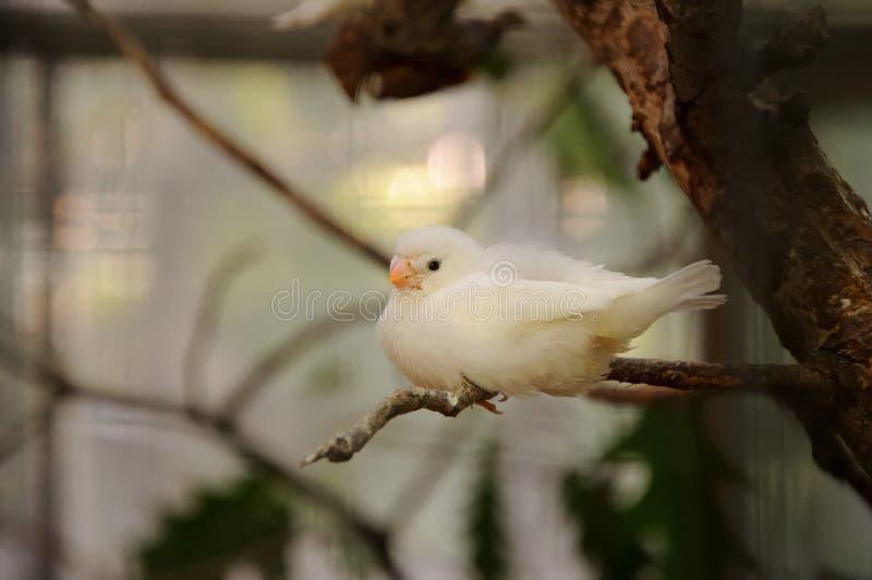 Белое amadina стоковая фотография rf