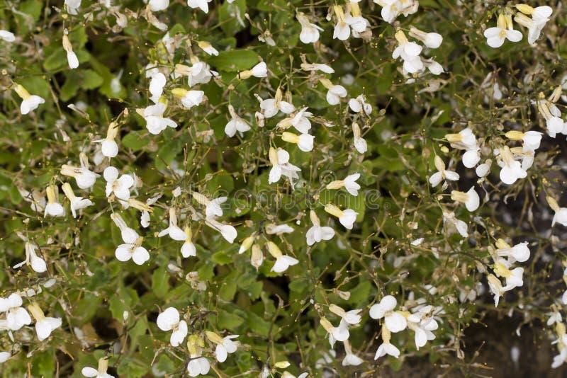 Белое caucasica arabis цветет фото предпосылки стоковые фотографии rf