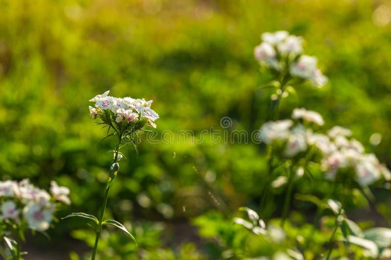 белое gillyflower растя в саде стоковое фото rf