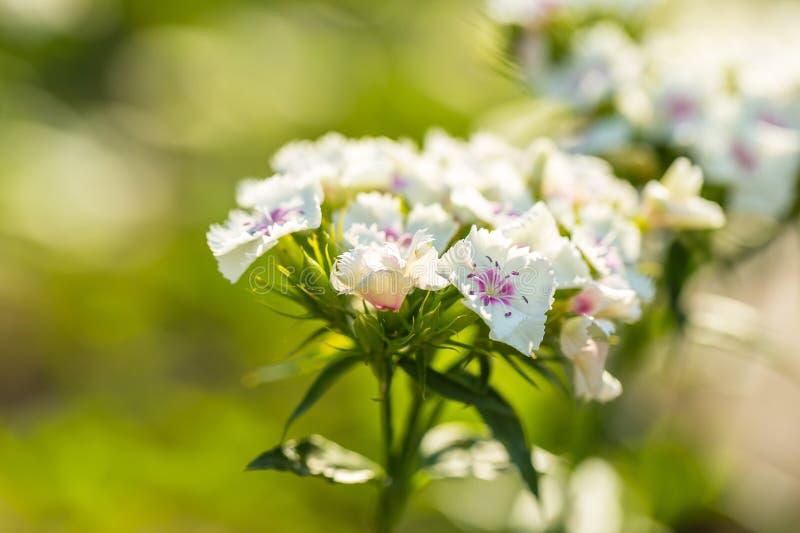 белое gillyflower растя в саде стоковые фотографии rf