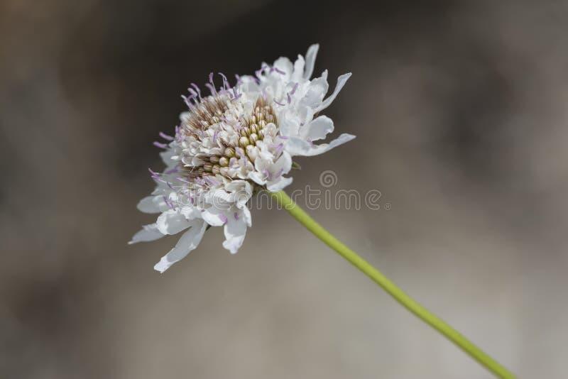 Белое Scabiosa (цветок Pincushion) стоковое фото rf