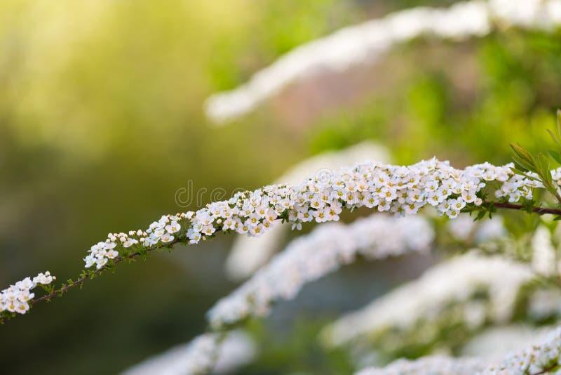 Белое spirea зацветая в красивой изгороди стоковое фото rf