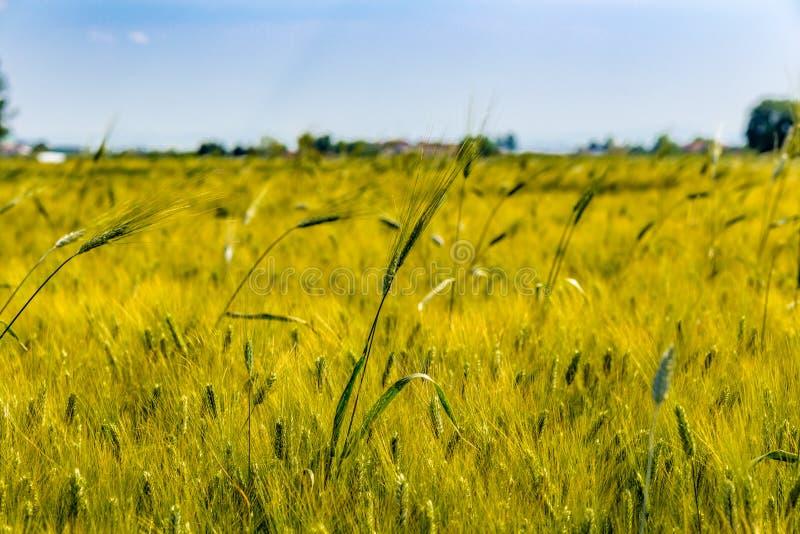 Белокурое кукурузное поле стоковое фото rf