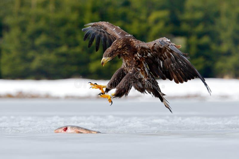 Бело-замкнутый орел с рыбами в снежной зиме, снегом задвижки в среду обитания леса, приземляясь на лед Сцена зимы живой природы д стоковое фото