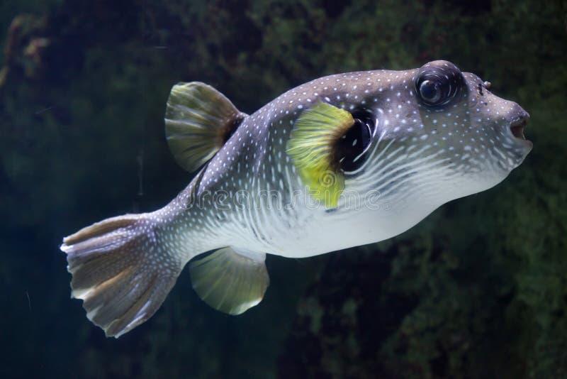 Download Бело-запятнанное Hispidus Arothron скалозуба Стоковое Изображение - изображение насчитывающей нашивки, pacific: 81810463