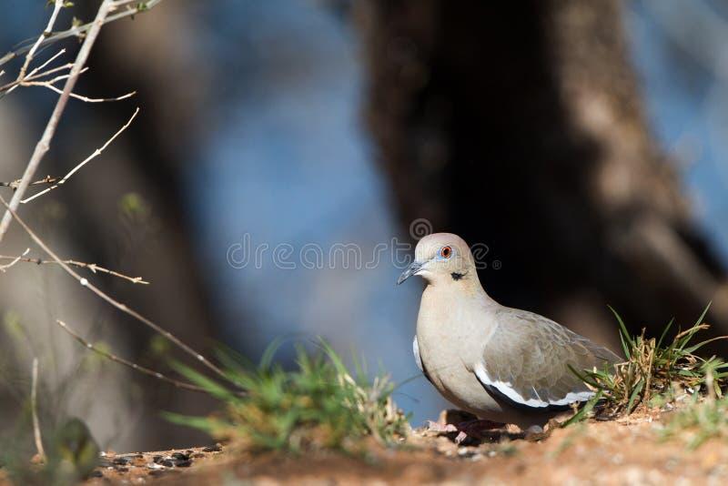 Бело-подогнали голубь, Zenaida asiatica стоковые фото