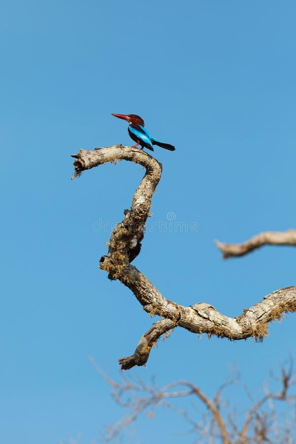 Бело-throated Kingfisher сидя на дереве стоковые изображения rf