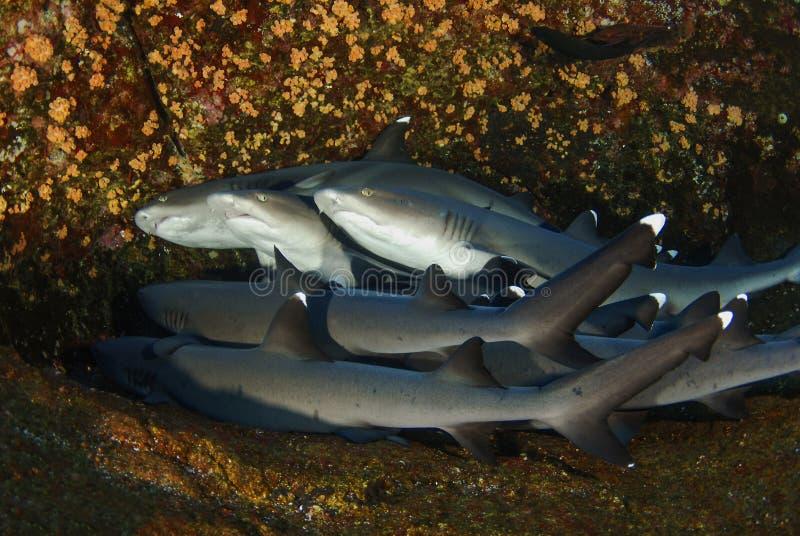 Белые акулы подсказки стоковые изображения