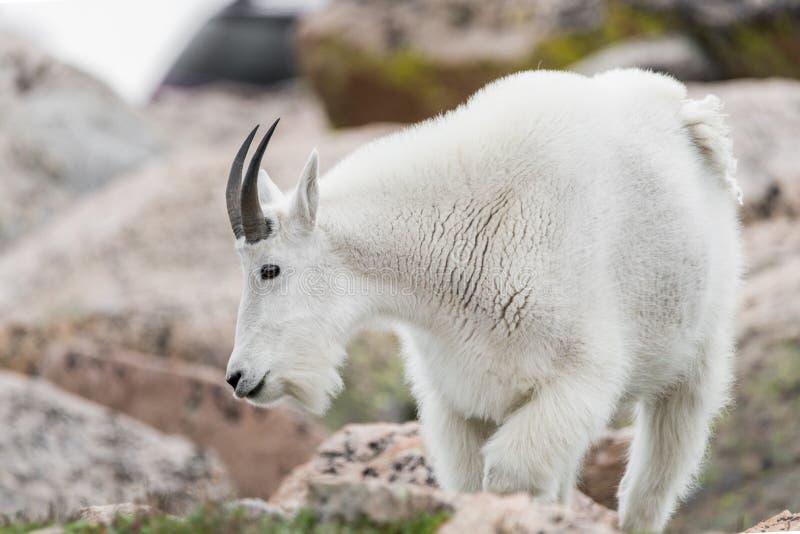 Белые большие овцы рожка - коза скалистой горы стоковое фото