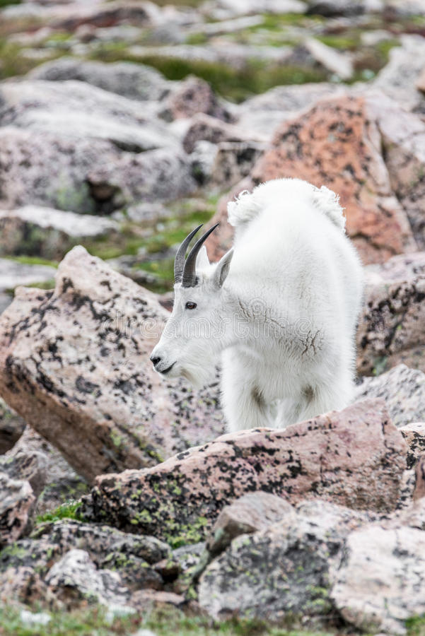 Белые большие овцы рожка - коза скалистой горы стоковые фотографии rf