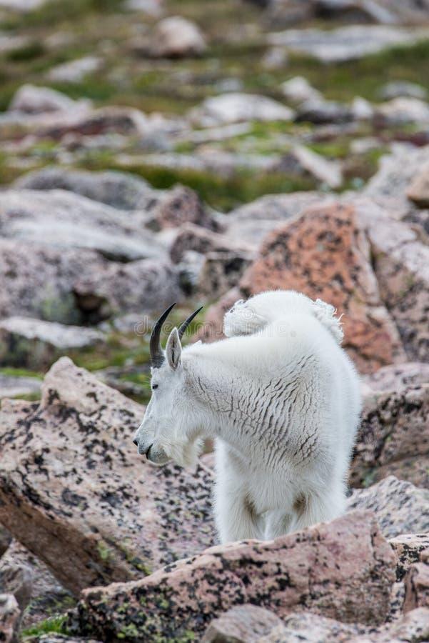 Белые большие овцы рожка - коза скалистой горы стоковое изображение