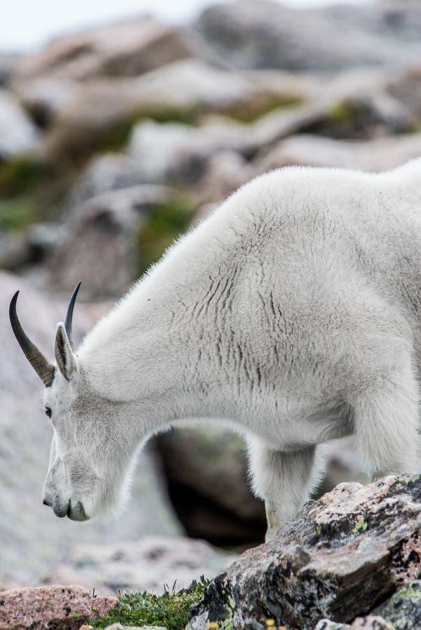 Белые большие овцы рожка - коза скалистой горы стоковые изображения rf