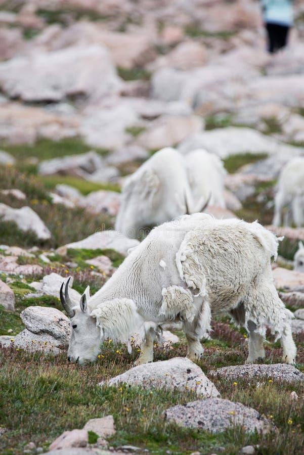 Белые большие овцы рожка - коза скалистой горы стоковое изображение rf