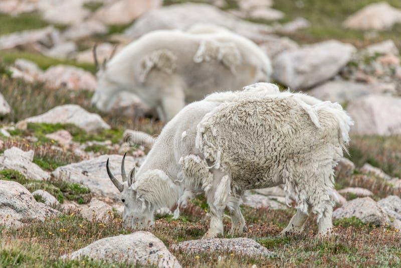 Белые большие овцы рожка - коза скалистой горы стоковые фото