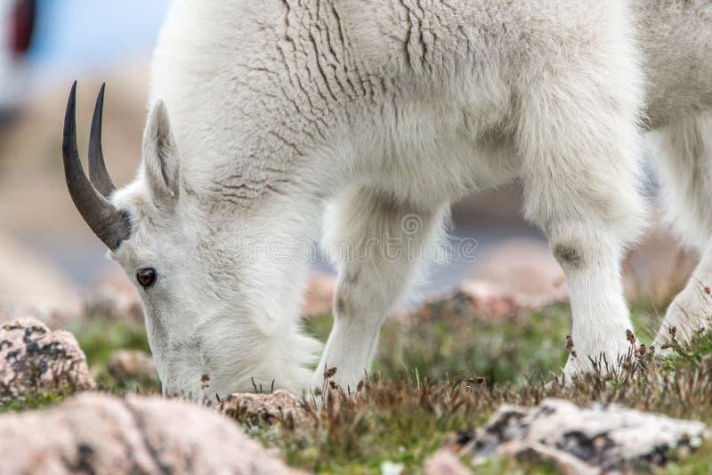 Белые большие овцы рожка - коза скалистой горы стоковое фото rf