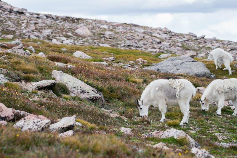 Белые большие овцы рожка - коза скалистой горы стоковая фотография rf