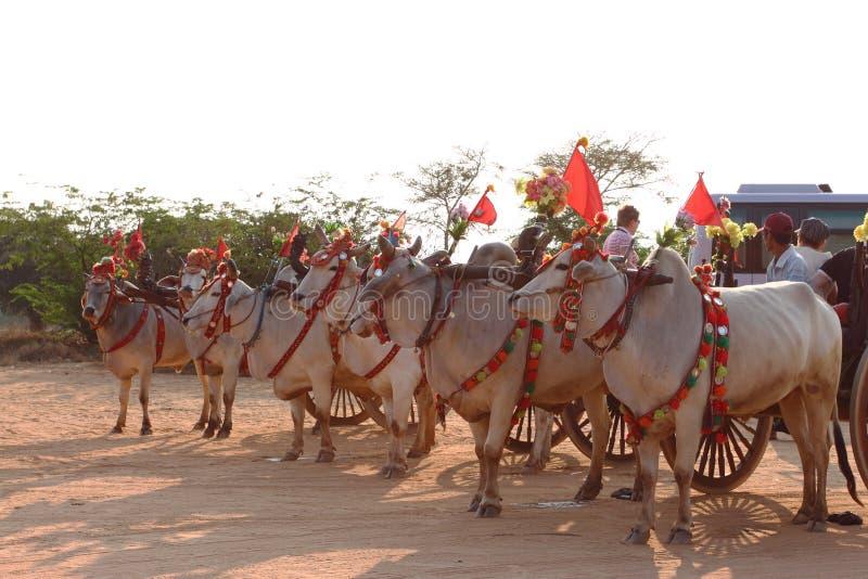 белые волы вытягивая деревянную тележку в Bagan стоковые фото