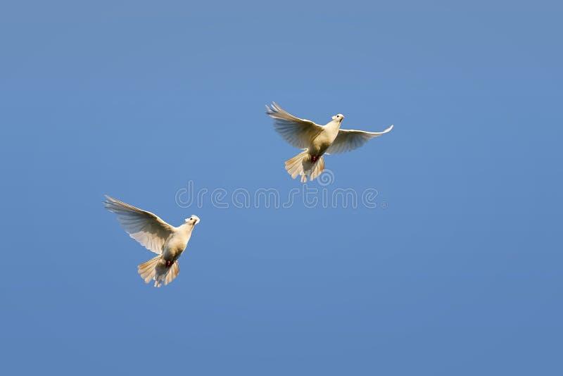 белые голуби летая на предпосылку голубого неба стоковое фото rf