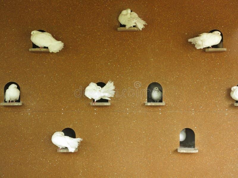 Белые голуби на стене dovecote стоковое фото rf