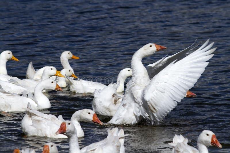 Белые гусыни и утки плавают и ныряют в пруде стоковая фотография