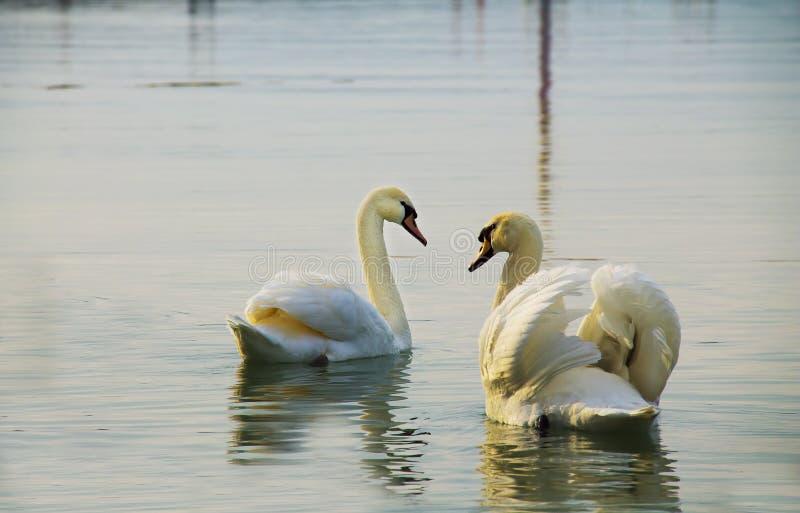 Белые лебеди на озере стоковые фотографии rf