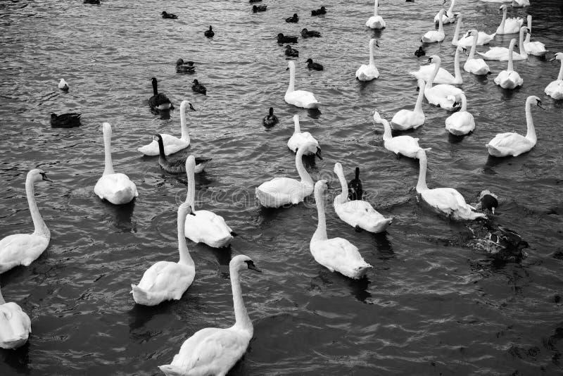Белые лебеди плавая в озере Красивое черно-белое острословие взгляда стоковые изображения rf