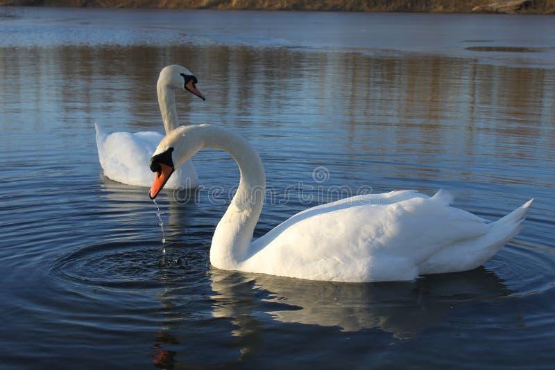 Белые лебеди стоковые изображения rf