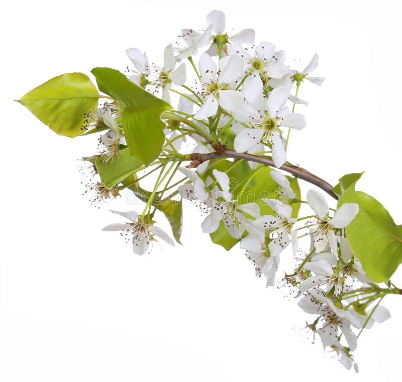 Белые изолированные цветения весны вишни стоковые фото