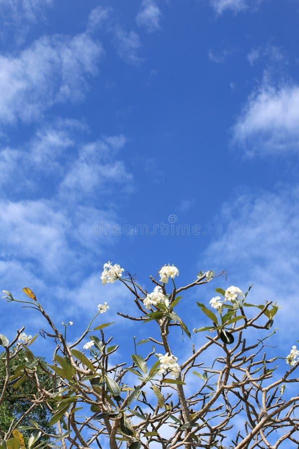 Белые и желтые цветки Frangipani. Стоковые Изображения RF