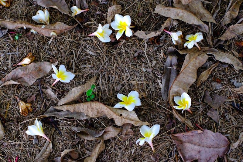 Белые и желтые цветки plumeria упаденные на том основании с сухим стоковые изображения rf