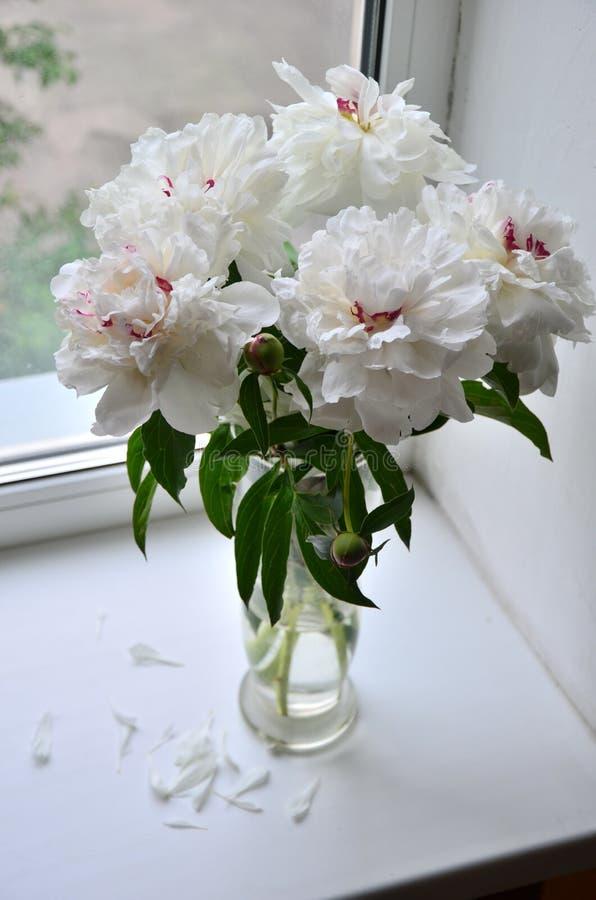 Белые и розовые цветки пиона стоковая фотография