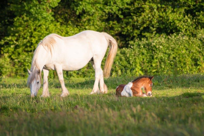 Белые конематка и осленок на луге стоковая фотография rf