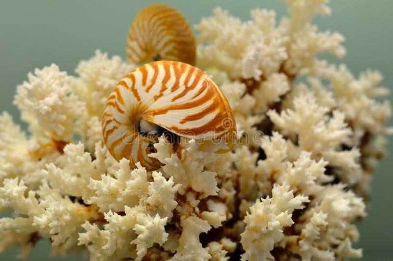 Белые коралл и nautilus стоковая фотография rf