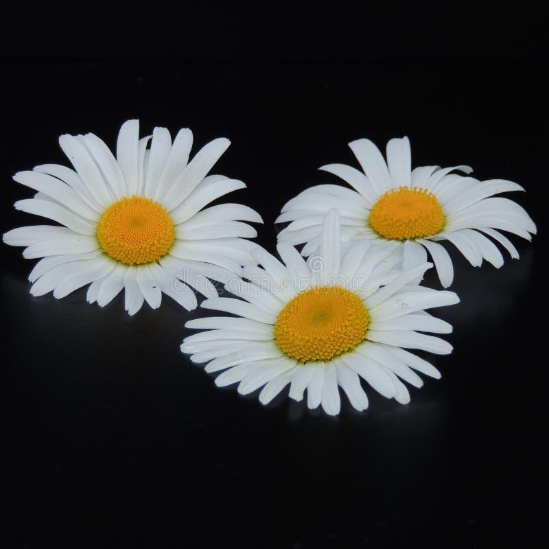 Белые маргаритки в саде на черной предпосылке стоковые изображения