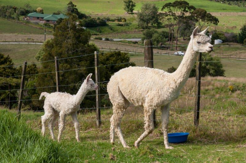 Белые мать и младенец альпаки стоковые изображения rf