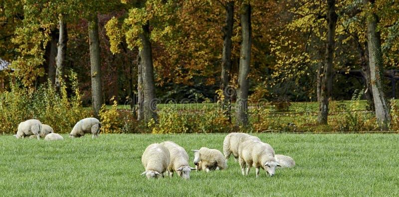 Белые овцы в осени стоковые фотографии rf