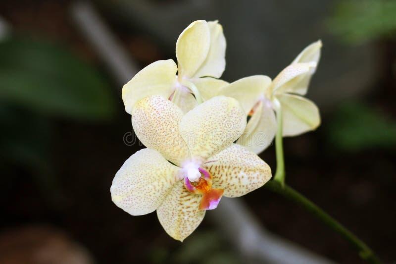 Белые орхидеи стоковая фотография rf