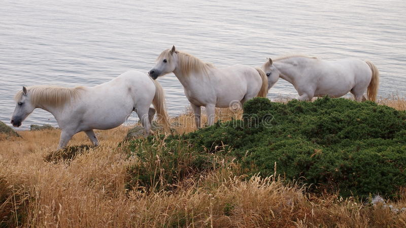 Белые лошади на Anglesey, Уэльсе стоковые изображения
