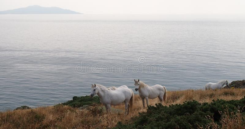 Белые лошади на Anglesey, Уэльсе стоковая фотография rf