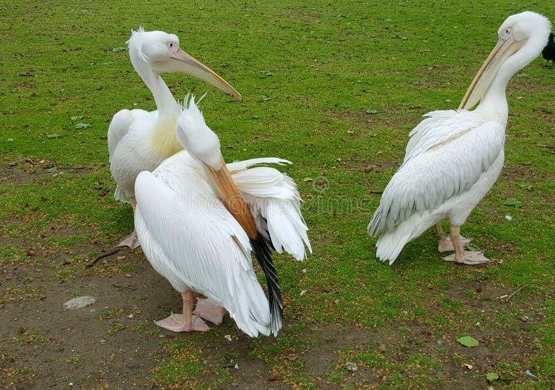 Белые пеликаны в St James паркуют, Лондон, Англия стоковая фотография