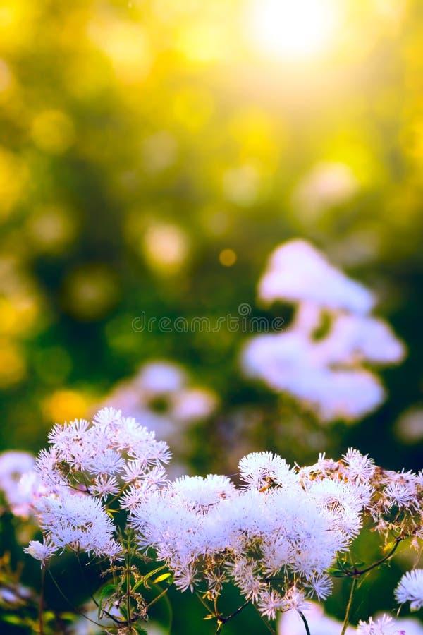 Белые полевые цветки стоковые фото
