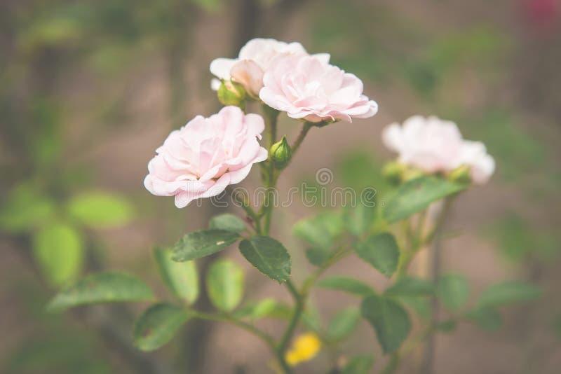 Белые розы винтажные стоковые изображения rf