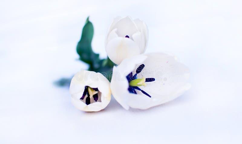 Белые тюльпаны стоковое изображение