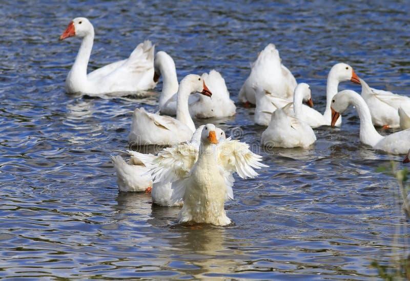 Белые утки ныряют в голубых лапках озера вверх стоковые изображения