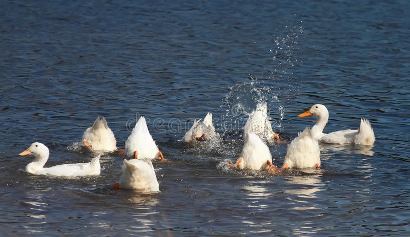 Белые утки ныряют в голубых лапках озера вверх стоковая фотография