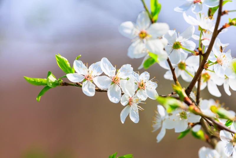 Белые цветения весной стоковое фото