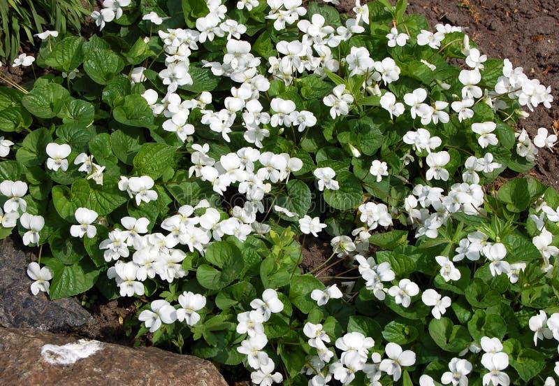 Белые цветки альта стоковое изображение