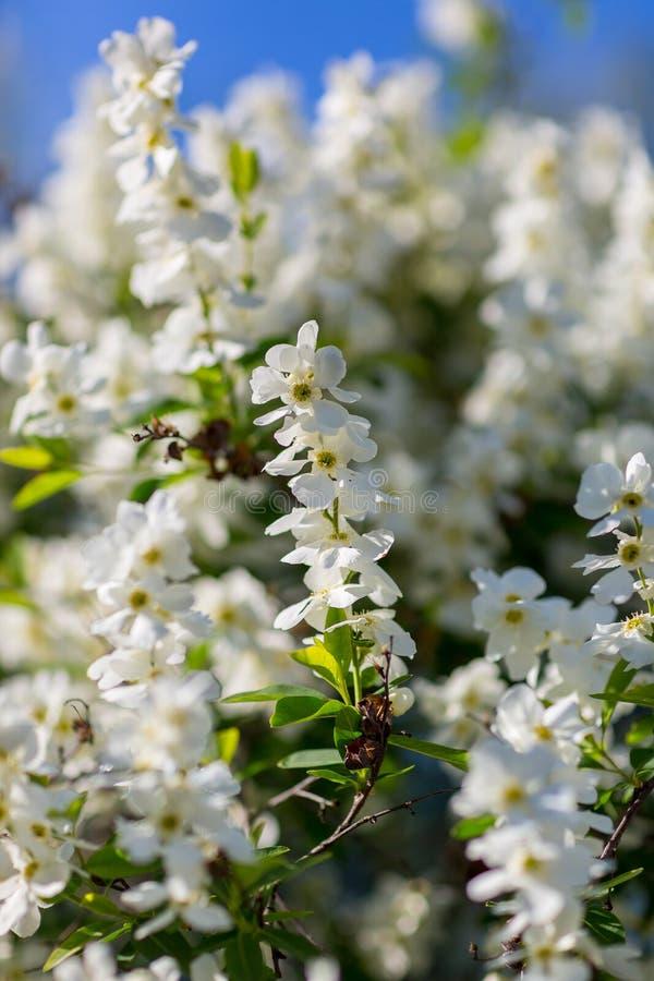 Белые цветки вишневых цветов стоковые изображения rf